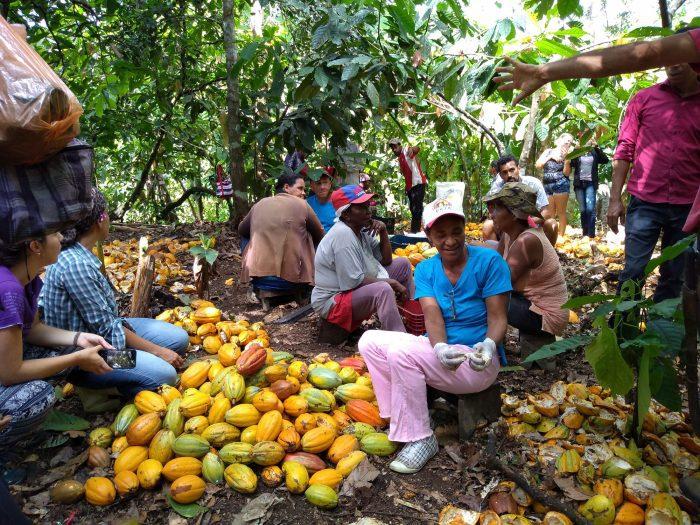 Geração de renda a partir do cacau orgânico em Dois Riachões recebe destaque na imprensa