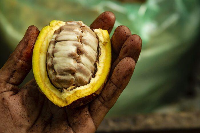 Câmara de Comércio da França visita produtores de cacau da Bahia