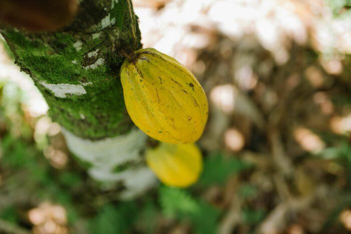 Arapyaú apresenta estudos no Comitê do Cocoa Action